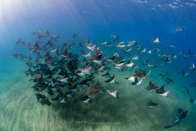 schools of Mobula rays during PADI Divemaster course in Mexico